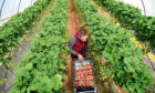 Seasonal migrant workers are needed because not enough Britons will do the work.