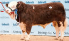 The Stronach family's Islavale herd has sold to a top of 24,000gn for Islavale Heston, pictured.