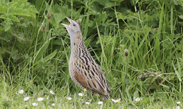 The corncrake population on Skye continues to decline.