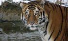 Amur tiger Botzman