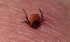 Tick (Acarina sp.) adult, feeding, on human skin
