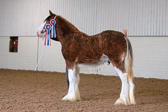 Fife Foal Show champion Freezlund Iceman, a senior colt foal from John and Margo McIntyre.