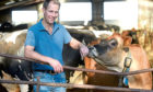 Jo's husband Nick has been busy bringing 12 Ayrshire heifers back to the farm.