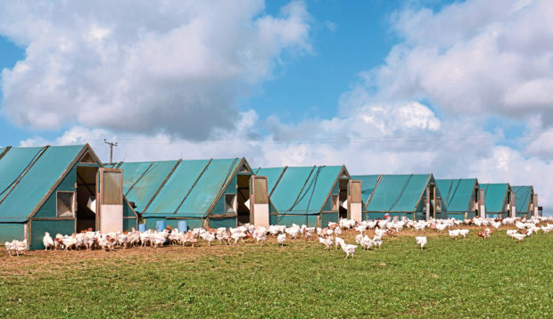Poultry producers may be forced to keep their birds indoors.