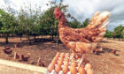 Money from the sales of Morrisons Chuckle Eggs will be ploughed back into establishing better free-range land for hens.