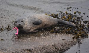 The injured seal pub was rescued and returned to the wild after being found with a large fishing hook stuck in its mouth.