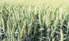 Swallow winter wheat is on AHDB's recommended list after showing good distilling potential.
