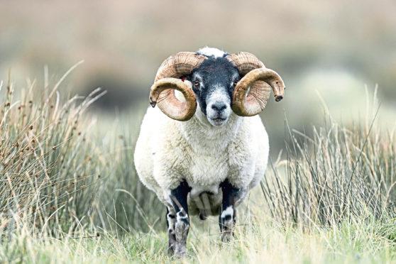 The bulk of sheep trade between Scotland and Northern Ireland involves Blackface sheep.