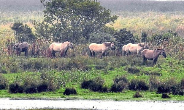 Wild Konik ponies at RSPB Loch of Strathbeg nature reserve near Fraserburgh.