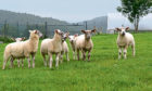 Sheep at the Glensaugh research farm.
