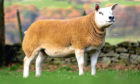 The 20,000gn gimmer from Sportsmans.