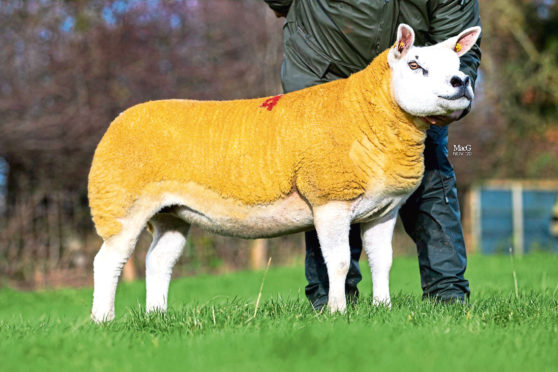 The 46,000gns Texel gimmer.