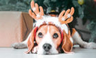 Beautiful beagle dog posing as a reindeer sits near a Christmas tree.