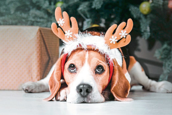 Beautiful beagle dog posing as a reindeer sits near a Christmas tree.