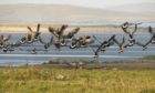 Barnacle geese would be one of the attractions of the Outer Hebrides Wildlife Festival.