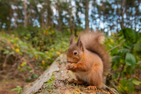 A red squirrel at Carnie Woods near Westhill. Rangers have asked the public not to feed them too much food, for fear of rats.