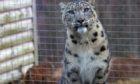 snow leopard Koshi