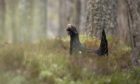 Cairngorm Capercaillie Project is working with mountain bikers to protect the capercaillie. Picture by