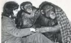 Aberdeen Zoo head keeper John Buchan with chimps - Heather and Humphrey, well wrapped up against the cold, in 1977.