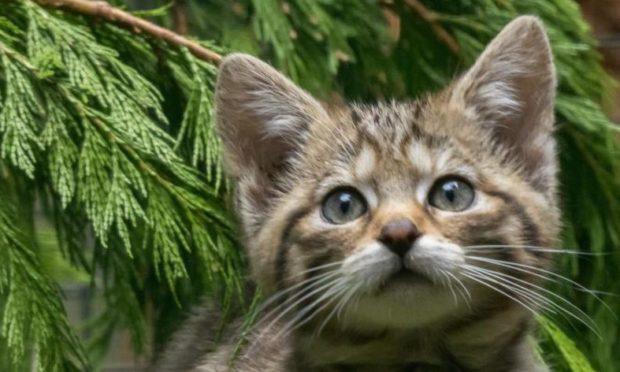 A wildcat kitten at the Highland Wildlife Park.