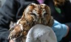 An owl in the care of the wildlife rescue centre New Arc in Aberdeenshire.