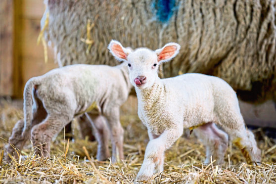98% of lamb losses occur in the first seven days of life.