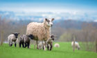 The study by Rothamsted Research Institute aimed to address the problem of 35% of lambs going to market being too fatty.