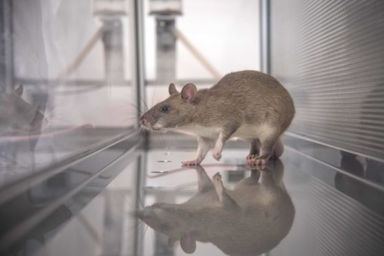 Specially trained sniffer rats can help fight disease