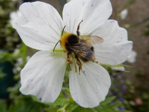 BeeWatch, a UK-wide citizen scientist programme, is relaunching. Supplied by Aberdeen University