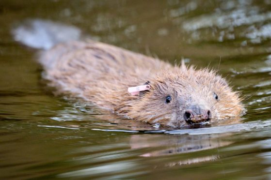 Trees for Life raises almost £60,000 to help legal battle with Nature Scot over killing of beavers