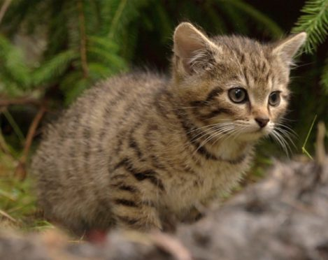 A Scottish wildcat, also known as a Highland tiger. Credit: Wildcat Haven