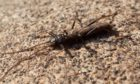 Northern February red stonefly