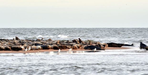 Newburgh Beach, Ythan Estuary Aberdeenshire - The population of seals at the beach. Picture by COLIN RENNIE