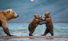 A female brown bear teaches her young cubs to fish before they are forced to flee when another male approaches. Shutterstock