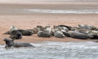 Seals at Newburgh - photographed from a distance.