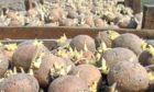 The UK has been banned from exporting seed potatoes to the EU.