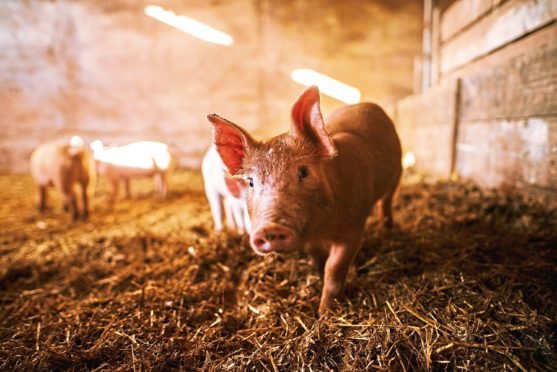 Farmgate prices for pork have now fallen below the cost of production.