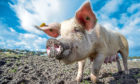 Pig prices are back 14% on the year.