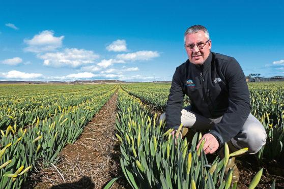 Mark Clark, MD Grampian Growers in field of daffodils near Logie, Angus.