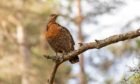 With the Cairngorms National Park now home to nearly 90% of remaining capercaillies, conservationists there are pushing to save the bird from extinction.
