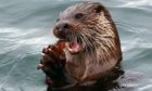 Dog otter eats his lunch  near Dunollie.