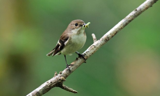 Aberdeen University researchers have been studying the intelligence of flycatchers.