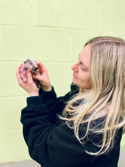 Lavender the badger is being taken care of my the Scottish SPCA.