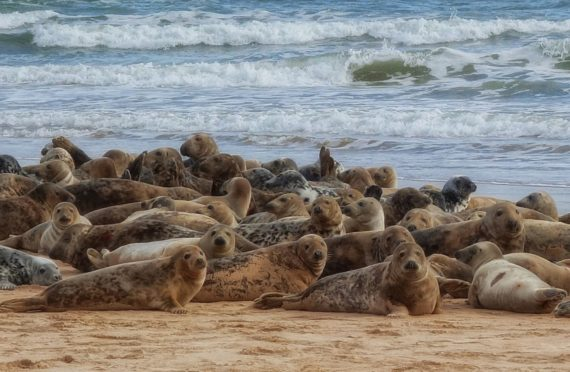 Seals at the mouth of the River Ythan