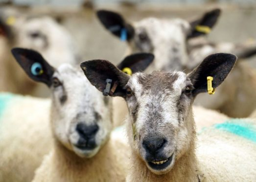 Five sheep have died following a worrying incident.