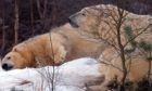 Polar bears Victoria and Arktos have been seen getting cosy at the Highland Wildlife Park,