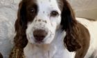 """Springer spaniel William was attacked by an """"out of control"""" dog while on a walk at Burghead."""