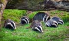 Badgers have burrowed underneath an Aberdeenshire road
