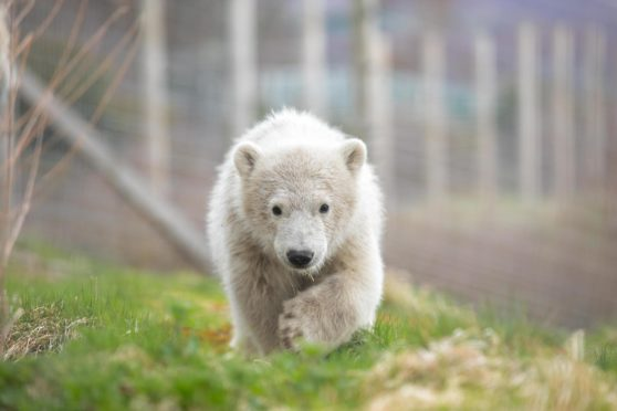 Hamish as a cub - and there are hopes of new cuteness at the Highland Wildlife Park