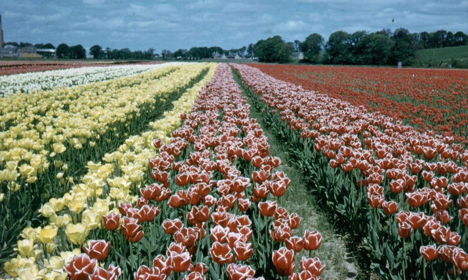 Tulips at Inverurie Bulb Farm's fields at Kinkell in the 1960s with Inverurie Paper Mill in the background.